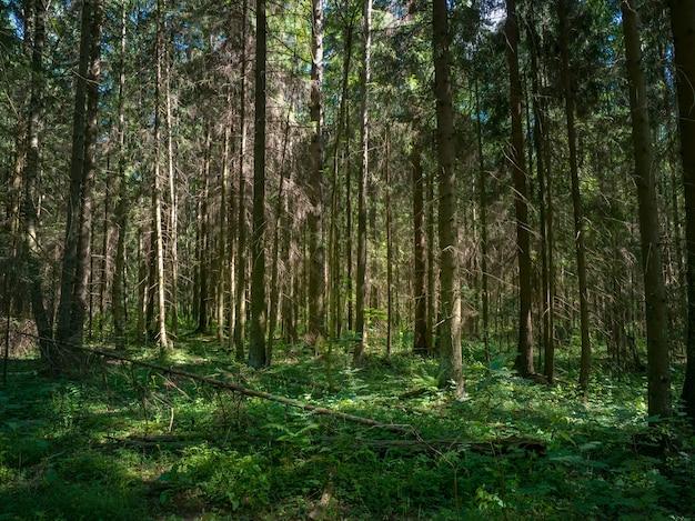 夏には松の木の深い森。野生植物と北ヨーロッパの自然