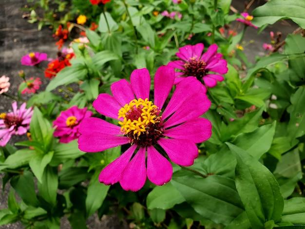 庭の濃いピンクのジニアの花