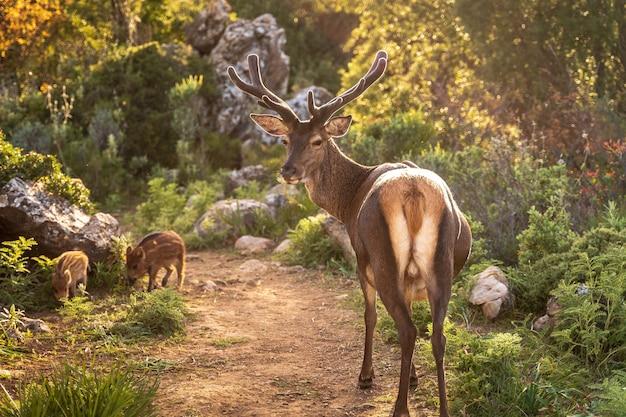 Олень и детеныши кабанов в лесу