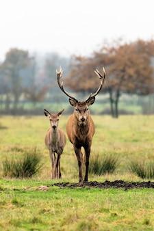 가을 자연의 사슴과 암컷