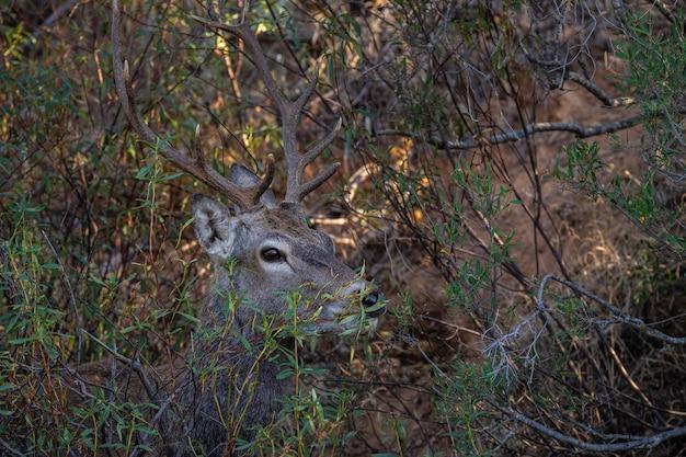 Олени - это жвачные млекопитающие, образующие семейство cervidae. национальный парк монфрагу. испания.