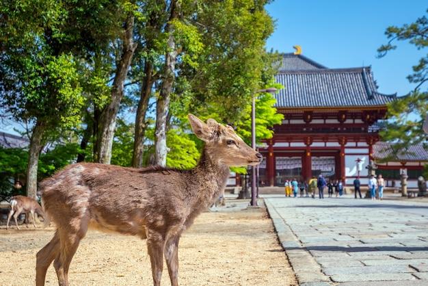 Олень в храме тодайдзи в наре, япония