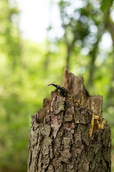 Deer beetle sits on a tree in the forest