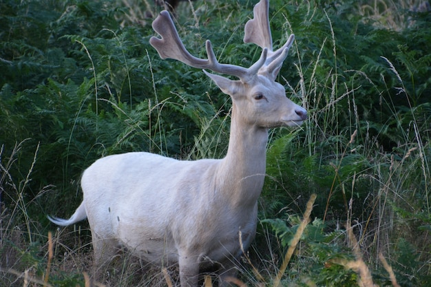 Deer in bushy park.