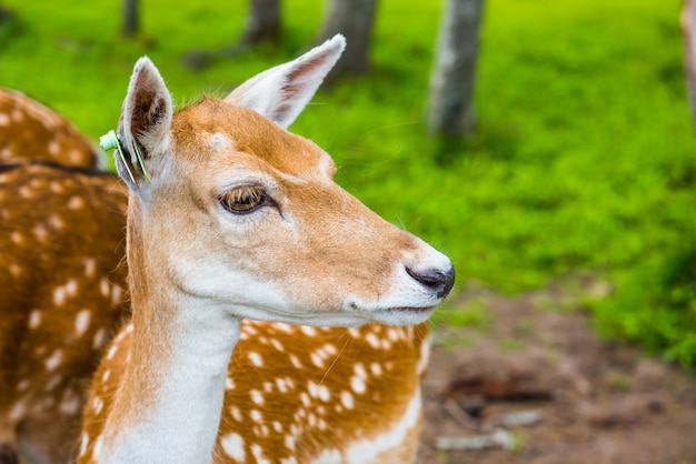 Deer close-up amid green grass park background