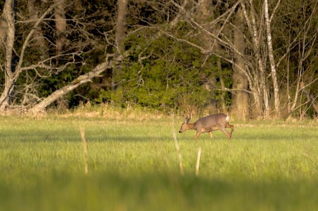 Cervo che mangia su un campo in erba con alberi