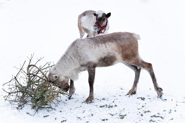 Оленевая ферма. олень с рогами играет с еловыми ветками с рогами на снегу в зимний снежный день. два оленя