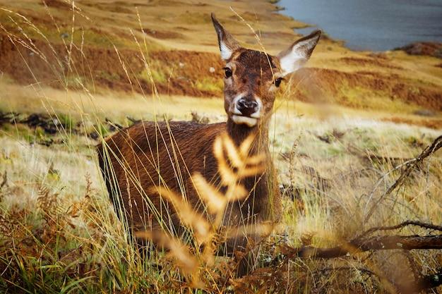Deer in a field at glen etive, scotland