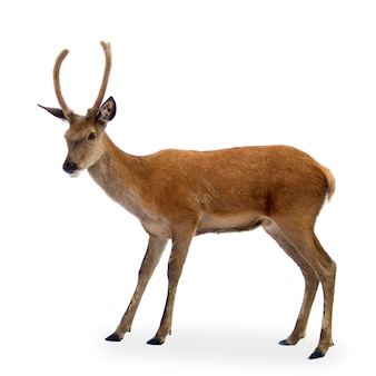 Deer in front of a white background
