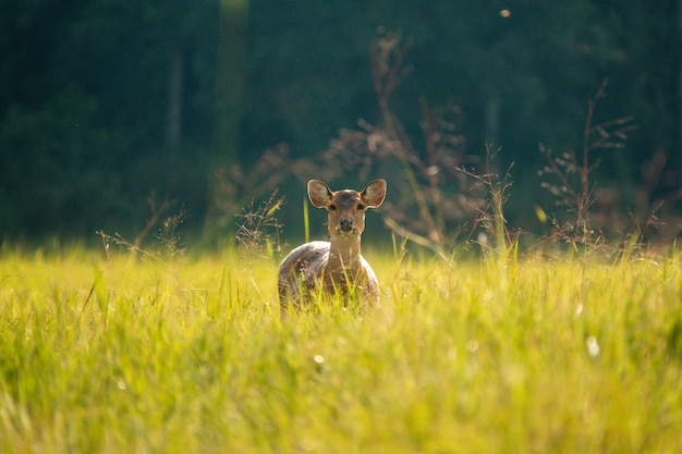 餌を与えるための丘の草原の鹿の群れ