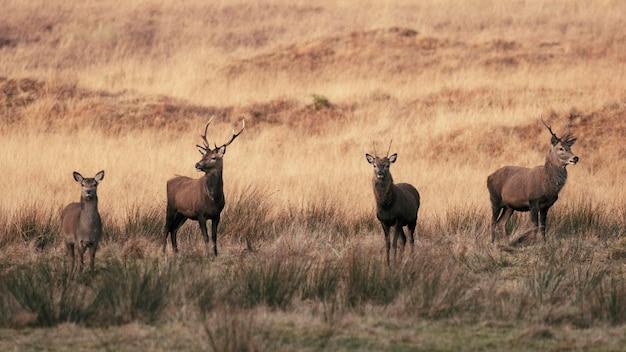 秋の野原の鹿