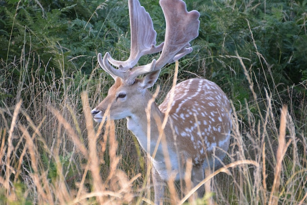 ブッシー公園の鹿。