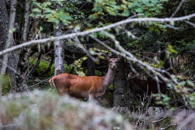フランス、サルダーニャ、カプシーの森の鹿
