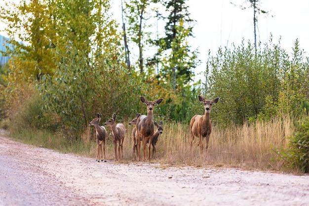 緑の森の鹿、アメリカ