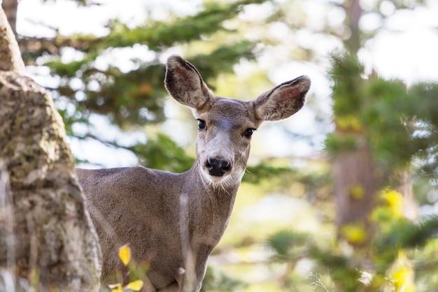緑の牧草地の鹿、アメリカ