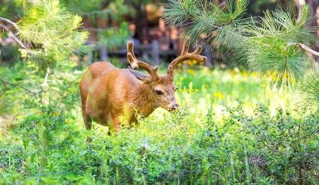 松林の鹿。