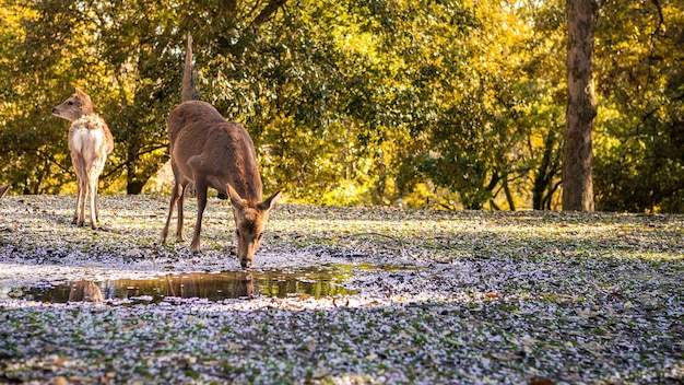 Deer is drinking water on puddle with pink cherry blossom of forest in japanese nara park. sika cervus nippon at spring season with sakura tree in bloom. tourist attraction of japan.