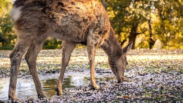 Deer is eating leaves of the forest in japanese nara park. a sika cervus nippon grazing the pink cherry blossom at spring season, with sakura tree in bloom. tourist attraction of japan.