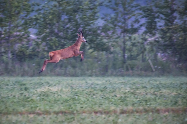 Deer jumping on green field