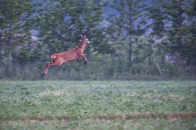 Олень прыгает на зеленом поле