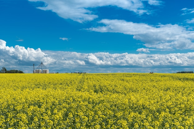 Deer jumping through a canola field in bloom with fertilizer storage bins