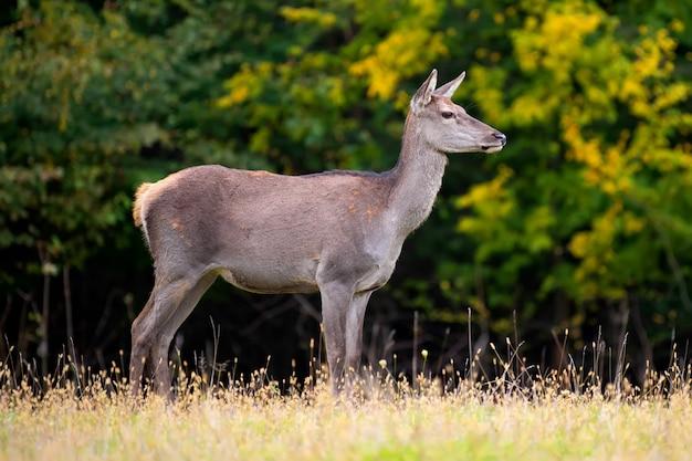 春の草原の鹿