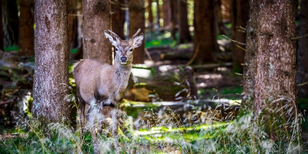 Deer portrait in the wild