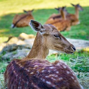 백그라운드에서 작은 사슴의 다른 그룹과 함께 풀밭에서 쉬고 있는 사슴.