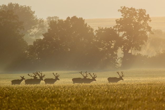 Deer stags migrating through a field early in the morning