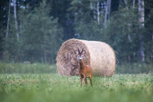 Олень стоит в траве и смотрит в камеру