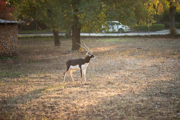 Deer walking in zoo park.