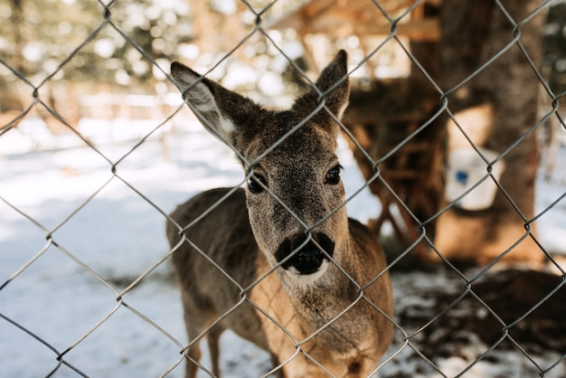 Deer behind the wired fence on the snowy mountain