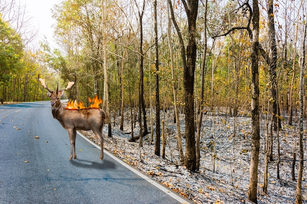 Deer with fire burn on it back stand in burnt debris forest