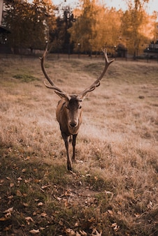 Deer with large branched horns in the
