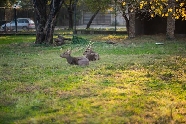 Олени сидят и отдыхают в сквере в зоопарке.