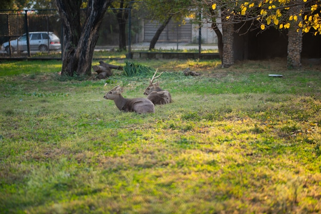 Deers are sitting and resting in the park in the zoo.
