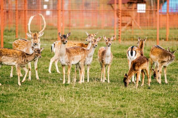 鹿グループはフィールドで放牧します。