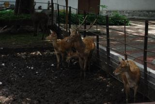 Deers at surabaya zoo