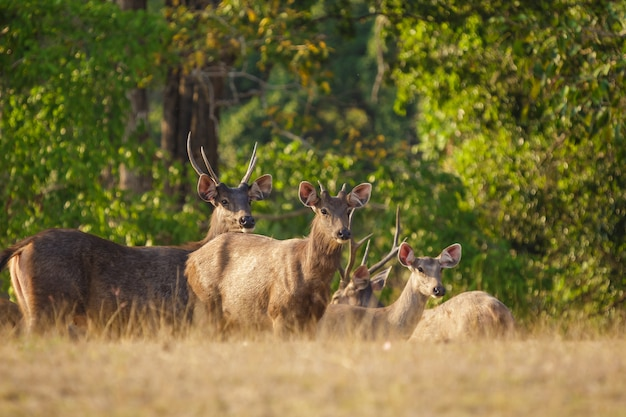 Deers in the wild, phu-keaw nation park, chaiyaphum thailand