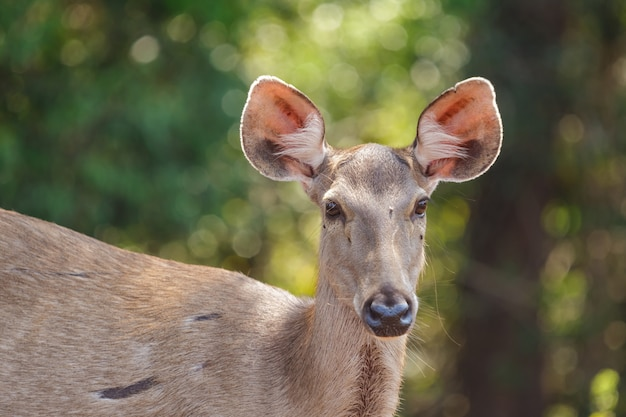 Deers in the wild, phu-keaw nation park, chaiyaphum thailand