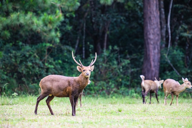 The deers in the wildlife sanctuary of thailand.