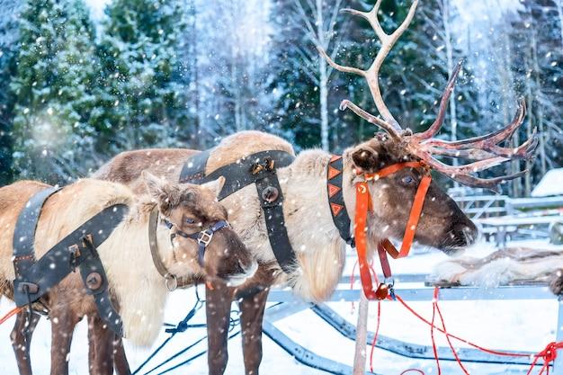 Олени с санями возле зимнего леса в рованиеми, лапландия, финляндия. рождественский зимний образ.
