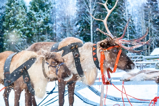 Deers with sledge near winter forest in rovaniemi, lapland, finland. christmas winter image.
