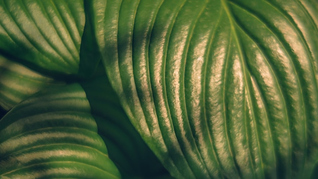Defocused background image of hosta leaves with golden shining sunlight on it. summer theme backdrop
