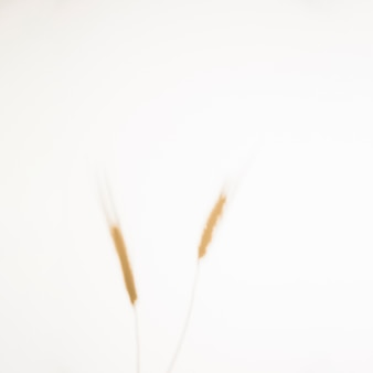 Defocused wheat ears spikelets with grains on white background