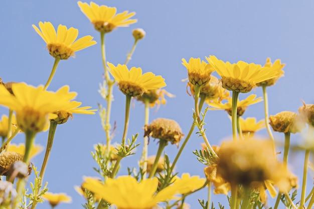 Defocused yellow chamomile on blue sky