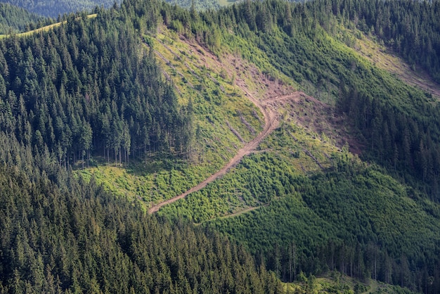 Deforestation. cut pine trees on the side of a mountain, ecology disaster.