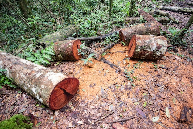 Deforestation environmental problem with chainsaw in action cutting wood