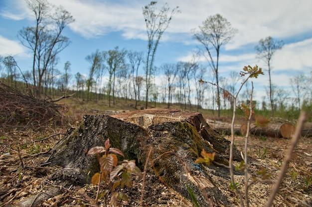 Вырубка леса. проблемы экологии планеты, вырубка сосновых лесов. пень на переднем плане.
