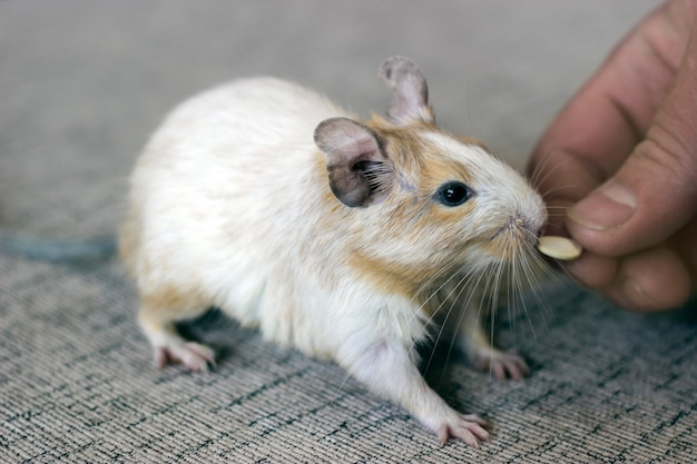Degu colored sand eats white salmon from man's hands